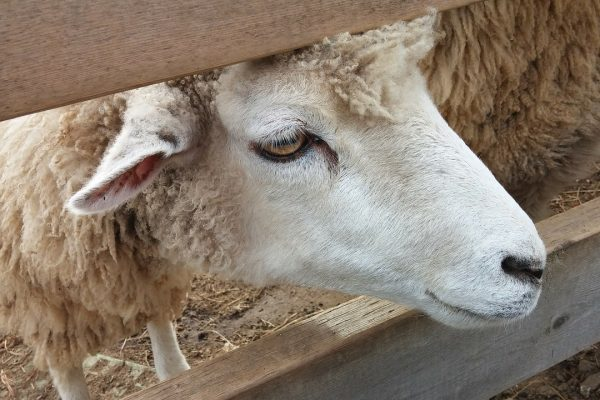 Agalassia contagiosa degli ovini e dei caprini