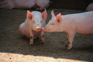 Nota ministeriale sui controlli di benessere animale negli allevamenti suini
