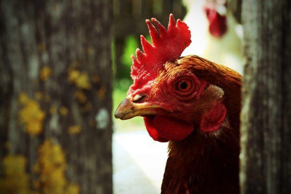 Focolaio di Influenza aviaria a bassa patogenicità (LPAI)