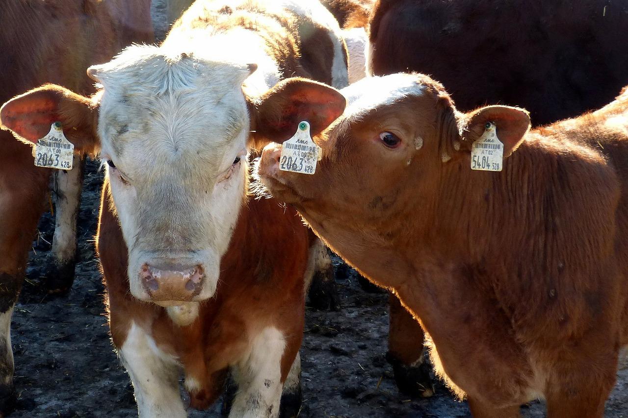Movimentazioni bovini verso la Turchia – nuovi certificati sanitari