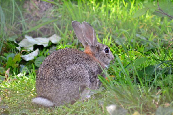 Malattia emorragica virale del coniglio (MEV/RHD)