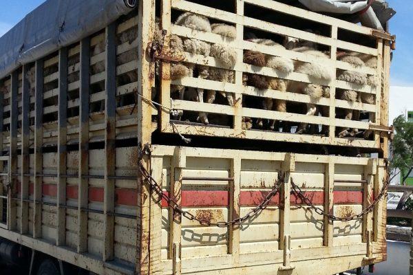 Risposta quesiti sull'applicazione del Regolamento (CE) n. 1/2005 – trasporto degli animali