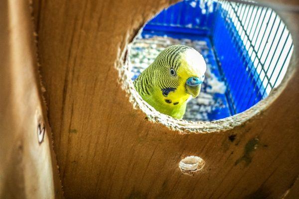 Movimentazioni – Certificato veterinario per pappagalli, psittacidi e passeriformi verso Israele