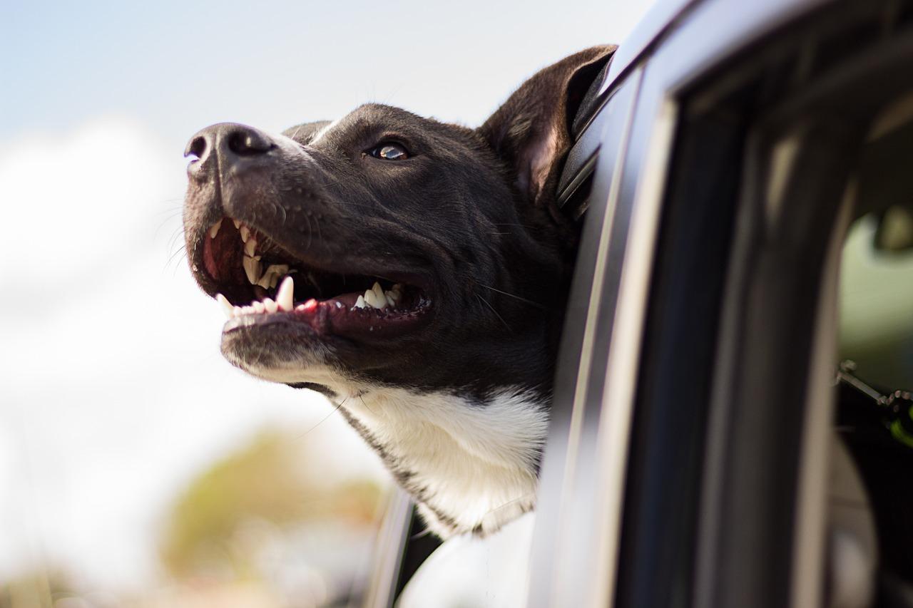 REG (UE) 2016/561 e s.m. – Certificato sanitario per cani, gatti e furetti – movimentazioni non commerciali