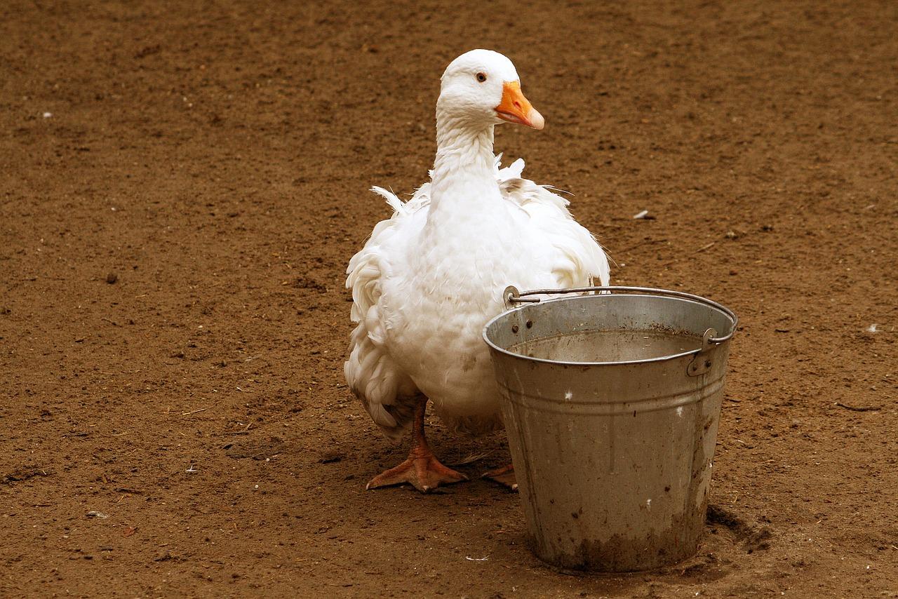 Influenza aviaria LPAI – positività in provincia di Pordenone