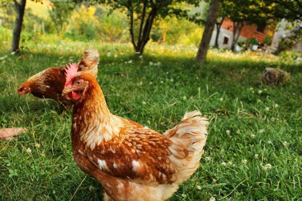 Influenza aviaria HPAI – positività in provincia di Ferrara