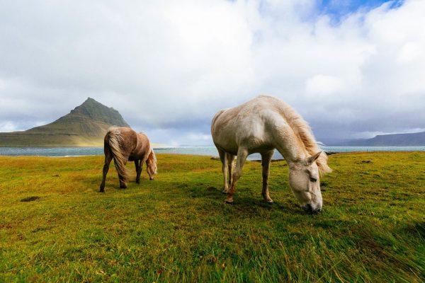 Movimentazioni – certificato per cavalli dalla UE verso il Cile su TRACES