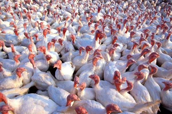 HPAI – Nota Regionale prot. n. 304492: blocco accasamenti tacchini da carne