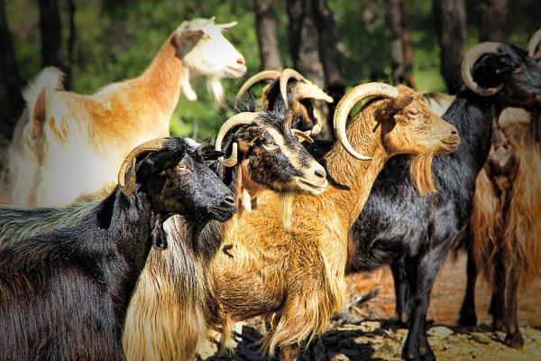Bluetongue – Nota del MdS: accordo sulle movimentazioni dalla Francia esteso alle capre