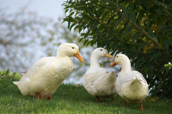 Influenza aviaria – H5N1 e H5N3 LPAI in Italia