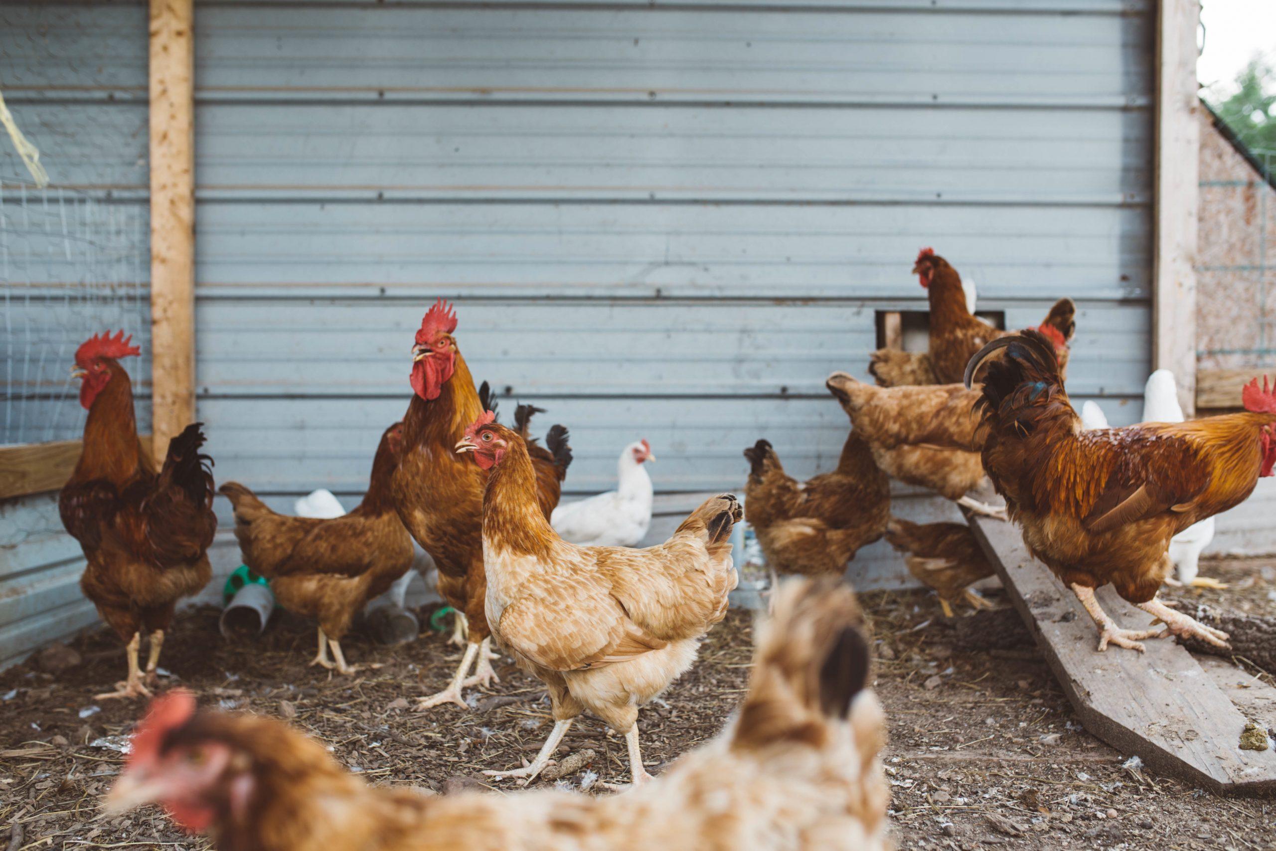 Influenza Aviaria in Italia – HPAI e LPAI in selvatici e in domestici