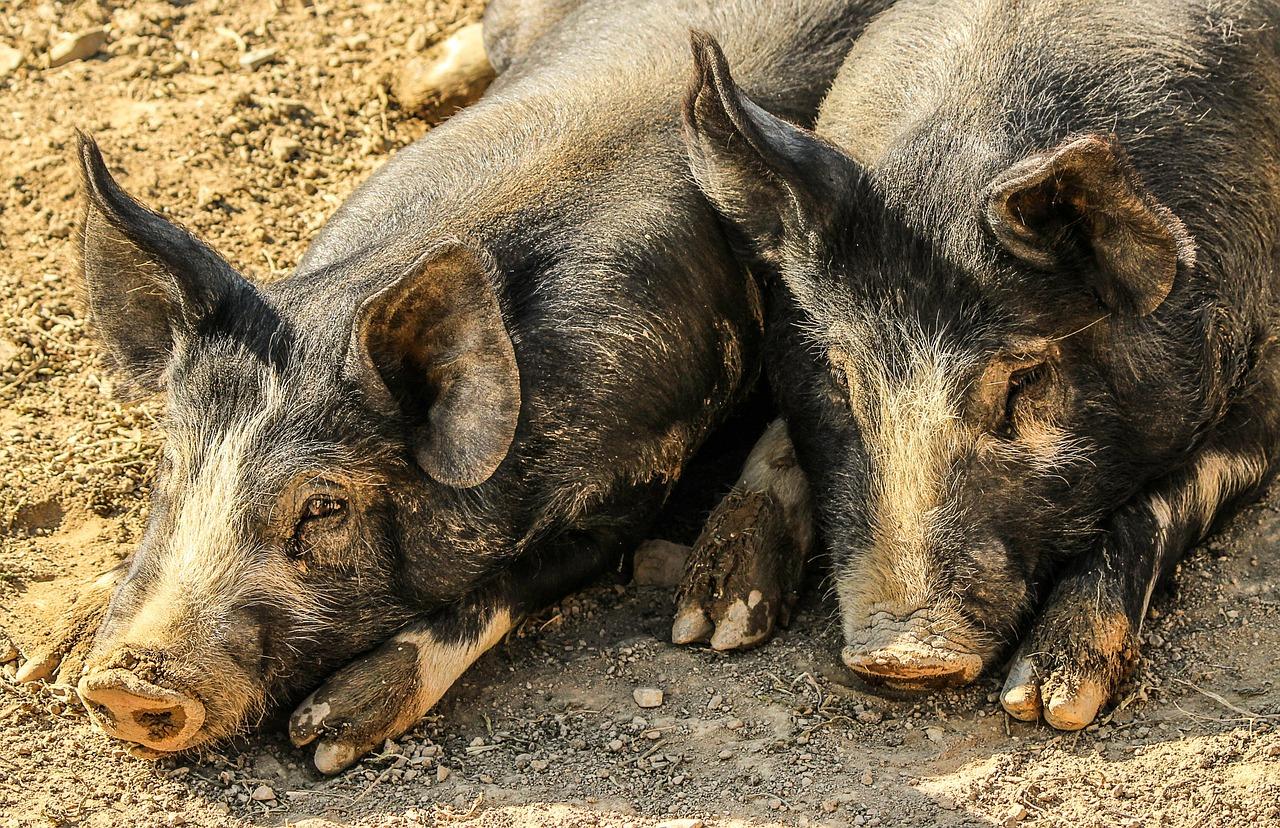 Peste Suina Africana – Notificato il Primo Focolaio in UNGHERIA