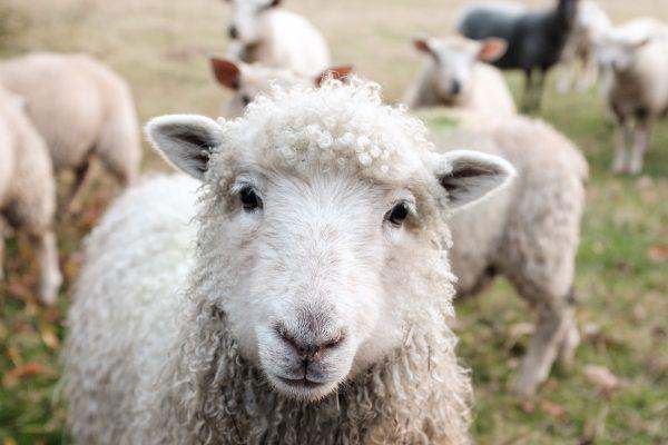 Peste dei Piccoli Ruminanti – Situazione Epidemiologica in Bulgaria