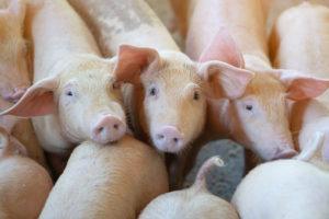 Normativa nazionale in materia di benessere animale dei suini