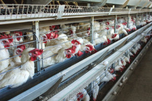 Normativa nazionale in materia di benessere animale di galline ovaiole e broiler