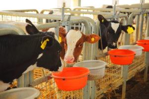 Normativa nazionale in materia di benessere animale dei vitelli